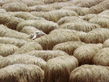 Flock of Sheep, Sardinia, Italy, Mediterranean, Europe Fotoprint van Oliviero Olivieri