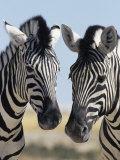 Two Burchell's Zebra, Equus Burchelli, Etosha National Park, Namibia, Africa Fotografie-Druck von Ann & Steve Toon