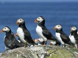 Puffins (Fratercula Arctica), Farne Islands, off Northumbria, England, United Kingdom, Europe Fotografie-Druck von Ann & Steve Toon
