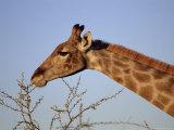 Giraffe Eating Thorny Bush, Giraffa Camelopardalis, Kruger National Park, South Africa, Africa Fotografisk tryk af Ann & Steve Toon