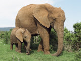Mother and Calf, African Elephant (Loxodonta Africana) Addo National Park, South Africa, Africa Fotografisk tryk af Ann & Steve Toon