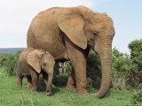 Mother and Calf, African Elephant (Loxodonta Africana) Addo National Park, South Africa, Africa Impressão fotográfica por Ann & Steve Toon