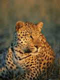 Male Leopard, Panthera Pardus, in Captivity, Namibia, Africa Fotografisk tryk af Ann & Steve Toon
