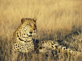Leopard, Panthera Pardus, in Captivity, Namibia, Africa Fotografisk tryk af Ann & Steve Toon