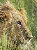 Male Lion, Panthera Leo, in the Grass, Kruger National Park, South Africa, Africa Fotografisk tryk af Ann & Steve Toon