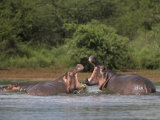 Hippos Fighting in Kruger National Park, Mpumalanga, South Africa Fotografisk tryk af Ann & Steve Toon