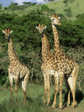 Three Giraffe, Giraffa Camelopardalis, Itala Game Reserve, Kwazulu-Natal, South Africa, Africa Fotografie-Druck von Ann & Steve Toon