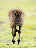 Kangaroo, (Macropus Fuliginosus), Flinders Chase N.P., Kangaroo Island, South Australia, Australia Fotografisk tryk af Thorsten Milse