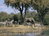 Elephant and Zebras at the Khwai River, Moremi Wildlife Reserve, Botswana, Africa Photographic Print by Thorsten Milse