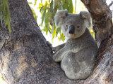 Koala (Phascolartos Cinereus), Magnetic Island, Queensland, Australia Fotografie-Druck von Thorsten Milse