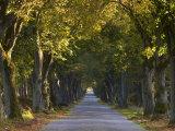 Tree Avenue in Fall, Senne, Nordrhein Westfalen (North Rhine Westphalia), Germany, Europe Photographic Print by Thorsten Milse