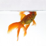 Goldfish Swimming Just Below the Surface of the Water Photographic Print by Mark Mawson