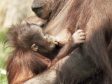 Orang-Utan (Pongo Pygmaeus), Mother and Young, in Captivity, Apenheul Zoo, Netherlands (Holland) Fotografisk tryk af Thorsten Milse