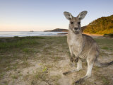 Eastern Grey Kangaroo, (Macropus Giganteus), Pebbly Beach, New South Wales, Australia Fotografisk tryk af Thorsten Milse