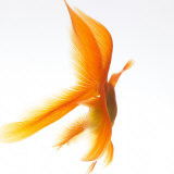 Goldfish Photographic Print by Mark Mawson