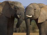 Elephants Socialising in Addo Elephant National Park, Eastern Cape, South Africa Fotografisk tryk af Ann & Steve Toon