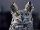 Close-Up of a Greeat Horned Owl, Bubo Virginiarius, Colorado Fotoprint van James Gritz
