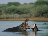 Common Hippopotamuses (Hippos), Hippopotamus Amphibius, Yawning, Kruger National Park, South Africa Fotografisk tryk af Ann & Steve Toon