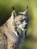 Close-Up of a Lynx (Lynx Canadensis) Sitting, in Captivity, Sandstone, Minnesota, USA Photographic Print by James Hager
