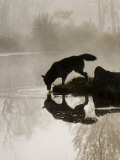 Gray Wolf (Canis Lupus) Drinking in the Fog, Reflected in the Water, in Captivity, Minnesota, USA Fotografie-Druck von James Hager