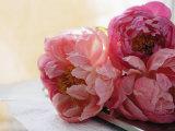 Peonías rosas Fotografía