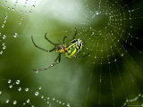 Cobweb Weaver Spider Rests on his Dew Covered Web, Groton, Connecticut Fotografisk tryk af Todd Gipstein