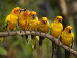 Closeup of Six Captive Sun Parakeets Stampa fotografica di Tim Laman