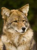 Closeup Portrait of a Captive Coyote, Massachusetts Stampa fotografica di Tim Laman