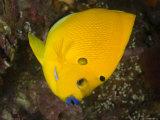 Closeup of a Lemonpeel Angelfish, Bali, Indonesia Fotografisk tryk af Tim Laman