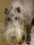 Bearded Pig from Borneo at the Henry Doorly Zoo, Nebraska Fotografie-Druck von Joel Sartore