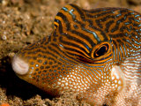 Closeup of a Spotted Toby, Bali, Indonesia Fotografisk tryk af Tim Laman