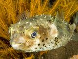 Closeupf of a Yellowspotted Burrfish, Bali, Indonesia Fotografisk tryk af Tim Laman
