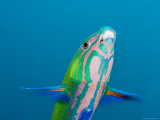 Closeup of a Brighly Colored Crescent Wrasse, Bali, Indonesia Photographic Print by Tim Laman