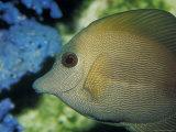 Close-Up of Scopus Brown Tang Fish Head Eye Fin Profile, Coral Behind, Australia Fotografisk tryk af Jason Edwards