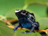 Blue and Yellow Poison Dart Frog, Sunset Zoo, Kansas Fotografisk tryk af Joel Sartore