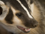 Hand-Raised Badger Bares its Teeth at its Home in Talmage, Nebraska Photographic Print by Joel Sartore
