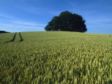 Denmark: a Wheat Field in Denmark, An Ancient Burial Ground Reproduction photographique par  Brimberg & Coulson