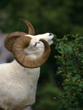 Dall's Sheep Ram Eating Alder Leaves, Alaska Reproduction photographique par Michael S. Quinton