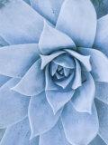 Close-Up of Blue Green Echeveria Succulent Plant, California Impressão fotográfica por James Forte