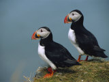 Iceland, Ingolfshofdi, Pair of Atlantic Puffins on Grass Covered Cliff Reproduction photographique par  Brimberg & Coulson