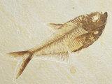 Fish Fossil, Diplomystus Dentatus, from the Eocene Period, Australia Fotografisk tryk af Jason Edwards