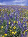 Coreopsis, Gilia, California Poppy and Lupine Stampa fotografica di Rich Reid