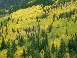 Fall-Colored Aspens in San Juan Mountains near Telluride, Colorado Photographic Print by Gordon Wiltsie