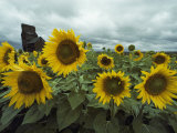 Champ de tournesols Reproduction photographique par Annie Griffiths Belt
