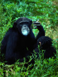 Infant Chimpanzee Watches its Mother Smoke a Cigarette Fotoprint av Annie Griffiths Belt