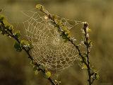 Dew Highlights an Orb-Weaver Spider's Web Fotografisk tryk af Mattias Klum