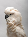 Salmon-Crested Cockatoo at the Sedgwick County Zoo, Kansas Fotografisk tryk af Joel Sartore