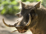 Mean Looking Warthog with Very Long Tusks Looks at the Camera, Henry Doorly Zoo, Nebraska Fotografisk trykk av Joel Sartore