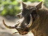 Mean Looking Warthog with Very Long Tusks Looks at the Camera, Henry Doorly Zoo, Nebraska Fotografie-Druck von Joel Sartore