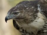 Red-Tailed Hawk Stampa fotografica di Sartore, Joel